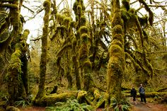 Bigleaf maples support lush beards of clubmoss in the Hall of Mosses in the Hoh Rain Forest in Olympic National Park, Wash. on Saturday, March 22. (Michael Arellano/Emerald)