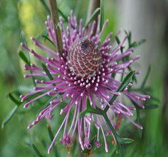 Misc Flora Isopogon Formosus