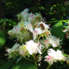 Busy Bees Spreading Pollen On Herbie S Horse Chestnut Tree