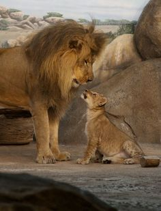 This was one of the first meetings between father, Themba, and one of his male cubs (Hubert) in 2011 at the Milwaukee County Zoo. The zoo hadn't had lion cubs since 1974 so this was a special moment. Hubert has since grown up and gone to a different zoo to start his own pride.