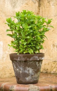 Outdoor Plants, Garden Plants, Container Gardening, Gardening Tips, Plants That Repel Bugs, Growing Mint, Mint Plants, White Flower Farm, Container Flowers