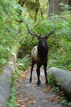Named for Theodore Roosevelt, father of the American national parks system, the Roosevelt elk is the largest of the North American elk subspecies and a popular sight on Washington's Olympic Peninsula.