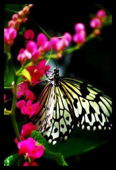 Butterfly by ~orangebolster on deviantART