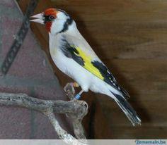 White european goldfinch