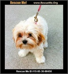 Rescue Me ID: 15-05-30-00450Amber (female)  Maltese Mix  Age: Young Puppy  Health:Spayed, Vaccinations Current  Amber was born November 27, 2014. She was an owner surrender as they had too many dog as all were not fixed. She is playful and very sweet. She is non shedding and best in a home with another playmate her size, no large dogs. She is a mere 4 lbs, toy size. Stop by and meet our pets on SATURDAYS or if you are not able, email to arrange a convenient time to meet the pet…