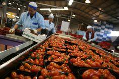 Produzione dei pomodori di Pula