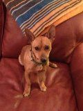 Speedo is an adoptable Miniature Pinscher Dog in Randleman, NC. Speedo is a red miniature pinscher mix with a curly tail. He is about a year old and was brought to a vet clinic to be euthanized becaus...