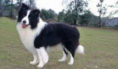 Border Collie - such wonderful dogs.