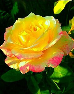 Here a beautiful yellow rose to start your morning! May blessings come your way! May you shine like the yellow rose! Beautiful Rose Flowers, Love Rose, Flowers Nature, Exotic Flowers, Amazing Flowers, My Flower, Beautiful Gardens, Beautiful Flowers, Rose Flower Photos