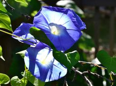 """Morning glories - truly """"in their glory"""" in the soft light of morning - offer their gifts as I head out with my camera before breakfast. They fascinate me from all angles a... #trending #etsy #etsymntt"""