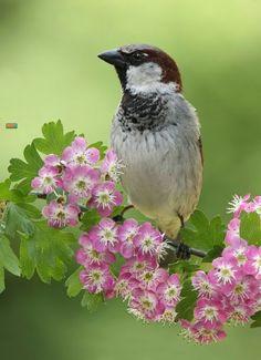 Birds in Thailand: House Sparrow
