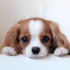 Dog Discover Tiniest-Cavalier-Puppy-Nessa This Adorable Puppy Is So Tiny Its Hard To Believe Hes Fully Grown Baby Animals Super Cute, Super Cute Puppies, Cute Little Puppies, Cute Little Animals, Cute Dogs And Puppies, Cute Funny Animals, Doggies, Cute Pets, Cute Baby Puppies