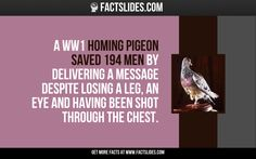 A WW1 homing pigeon saved 194 men by delivering a message despite losing a leg, an eye and having been shot through the chest.