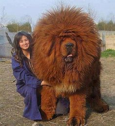 This is the immense Tibetan Lion Dog.  They are huge powerful dogs and could eat pitbulls for breakfast on its cereal.  I understand they are fiercely loyal also.  To buy one would set you back over $10,000 IF you could find someone willing to let you buy one.