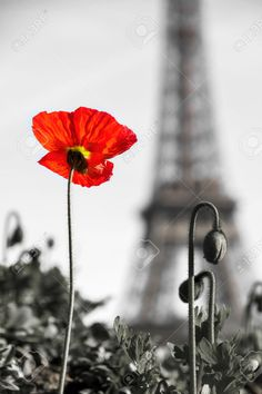 Selective color of beautiful poppy with the Eiffel tower in the background in Paris, France