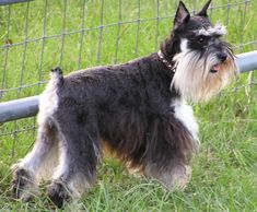 The initial recorded Miniature Schnauzer appeared in 1888, as well as the very first exhibition was held in 1899.