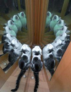 Spiegelkatze