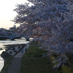 浅野川梅ノ橋から桜の夕景