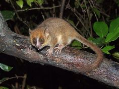 Pygmy Mouse Lemur.jpg