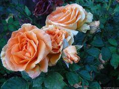 'Vavoom ' Rose, does it fade in heat/sun?