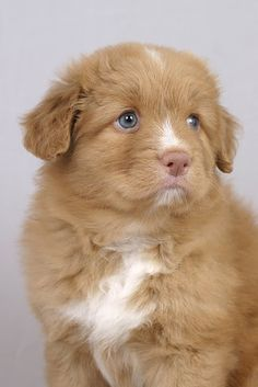 Molly the toller puppy @ 6 weeks