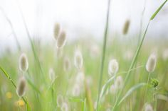 Beautiful soft pastel bunny tails with green background - Sally Wellbeloved Interior & Fine Art Photography Canvas Art, Canvas Prints, Bunny Tail, Green Backgrounds, Fine Art Photography, Sally, Dandelion, Pastel, Interior