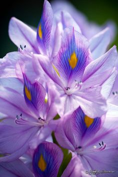 Water Hyacinth by Jeffrey Favero. The petals look like feathers. Different Flowers, All Flowers, Types Of Flowers, Exotic Flowers, Amazing Flowers, Purple Flowers, Beautiful Flowers, Cabbage Flowers, Water Hyacinth