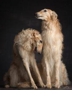 Beautiful Dogs, Animals Beautiful, Cute Animals, Animals Dog, I Love Dogs, Cute Dogs, Borzoi Dog, Whippets, Dog Breed Info