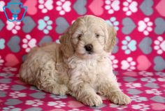 This beautiful Cockapoo is ready to meet her FUR-ever friend. She is a lovable pup ready to load you with her puppy kisses. Cockapoo Breeders, Cockapoo Puppies For Sale, Design Development, Cute Dogs, Cute Animals, Crafts, Pretty Animals, Cutest Animals, Cute Funny Animals