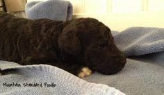 Lucky is just starting to open his eyes. He is a two week old standard poodle puppy