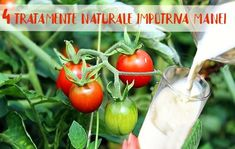 4 tratamente naturale contra manei la legume | LaTAIFAS House Plants, Home And Garden, Organic, Vegetables, Cake Cookies, Food, Gardening, Diet, Plant