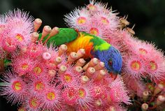 A rainbow lorikeet getting nectar out of a pink murtle at the botanical gardens in Sydney ,Australia Flower Pictures, Colorful Pictures, Flowers Pics, Spring Challenge, Love Garden, What A Wonderful World, Native Plants, Amazing Flowers, Beautiful Birds