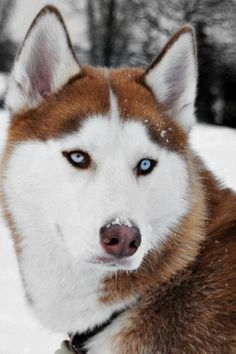 Beautiful Husky....or Malamute?