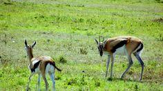 Mais um dos cervídeos belíssimos do Quênia - o Impala.