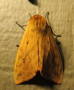 Wooly Worm Moth!!! I never knew what became of them...  AllenRatz - Pyrrharctia isabella  - 2014-08-19