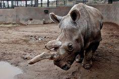 Portavoces del zoológico de San Diego, California, Estados Unidos, confirmaron este lunes 23 de noviembre la muerte de Nola, una rinoceronte blanca del norte de 41 años de edad y ...