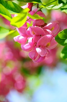 Purple Robe Locust Tree blossoms | imageseekertoo (Wendy Elliott) | Flickr Colorful Flowers, Pink Flowers, Beautiful Flowers, Pink And Green, Purple, Watercolor Effects, Flower Wallpaper, Potpourri, Daffodils