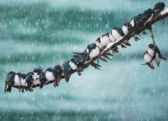 Swallows huddle in a Spring Snowstorm | image by Keith Williams