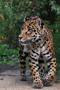 Beautiful jaguar ♥ Josef Gelernter