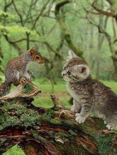 Gray Tiger Kitten Looking Curiously at a Young Squirrel. Happy Animals, Animals And Pets, Cute Animals, I Love Cats, Cute Cats, Kittens Cutest, Cats And Kittens, Unusual Animal Friendships, Tier Fotos
