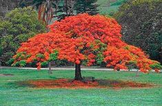 Buy 10 Delonix regia Tree Seeds ~ Royal poinciana, Flamboyant tree, Flame tree for Delonix Regia, Trees And Shrubs, Flowering Trees, Trees To Plant, Florida Trees, Florida Plants, Flame Tree, Lagerstroemia, Palmiers