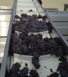 Washington wine harvest starts with Sauvignon Blanc, Pinot Gris #WallaWalla #WaWine #WineCountry #GrapeHarvest