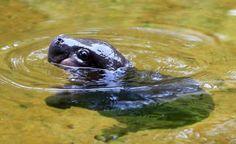un bébé hippopotame pygmé prend son premier bain [video] - http://www.2tout2rien.fr/un-bebe-hippopotame-pygme-prend-son-premier-bain-video/