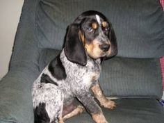 Bluetic  coon hound