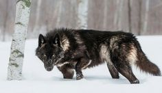 """Black Timber Wolf photographed at a wildlife reserve in Northern Minnesota. """"My name is Conrad Tan. I currently reside in Northern Califo. Wolf Photos, Wolf Pictures, Wolf Spirit, Spirit Animal, Beautiful Wolves, Animals Beautiful, Baie De San Francisco, Wolf Hybrid, Timber Wolf"""