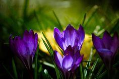Zakwitły krokusy w naszym skalniaku ogród pełen krokusów - Krokusy, Kwiaty, Ogród, Rośliny, Wiosna