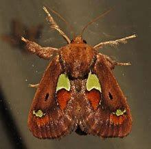Image result for Slug Moth