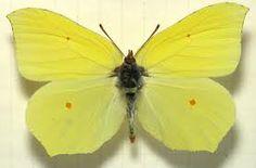 Citronfjäril (Gonepteryx rhamni) or in English Lemonbutterfly....
