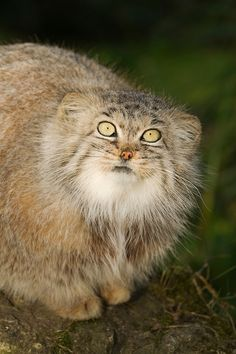 Pallas cat (Octolobus manul) Central Asia. Captive