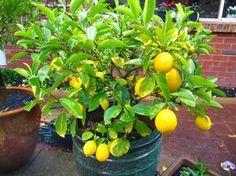 Te decimos los pasos que debes hacer para hacer crecer un árbol de limón en nuestra casa, utilizando la semilla de limón orgánico y utilizando una pequeña maceta.